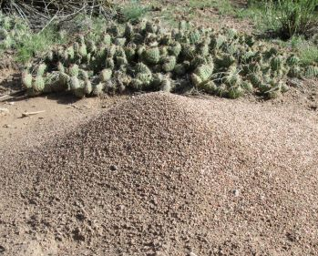 Cacti and Anthills